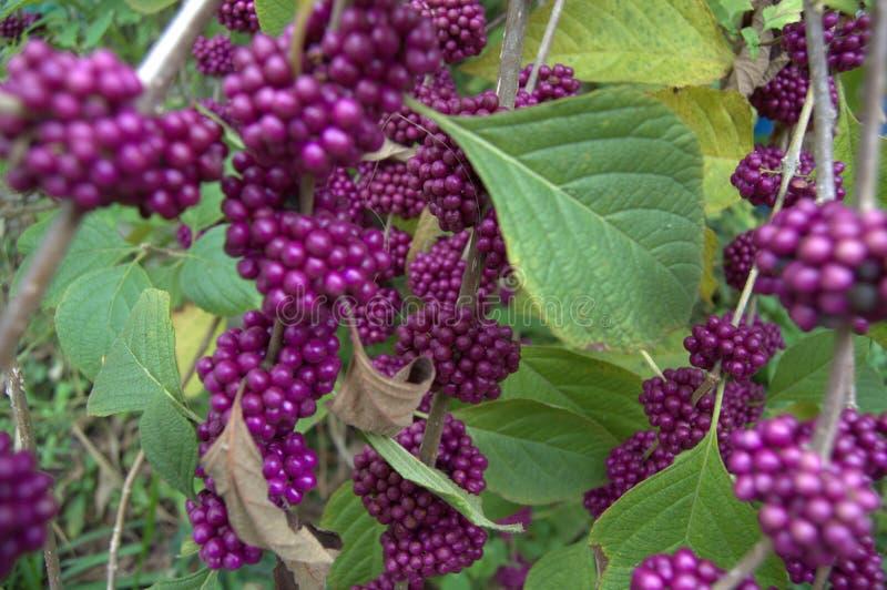 purpurowe jagód obraz stock