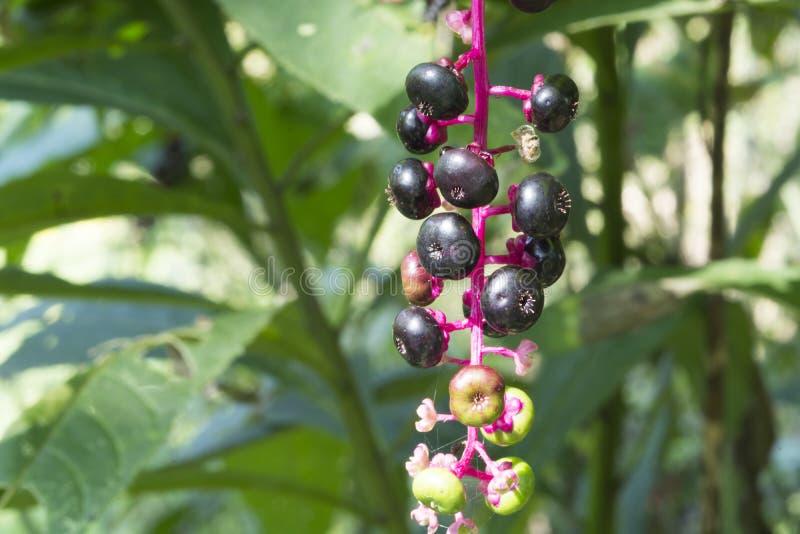 Purpurowe jagody na menchia trzonie obrazy stock