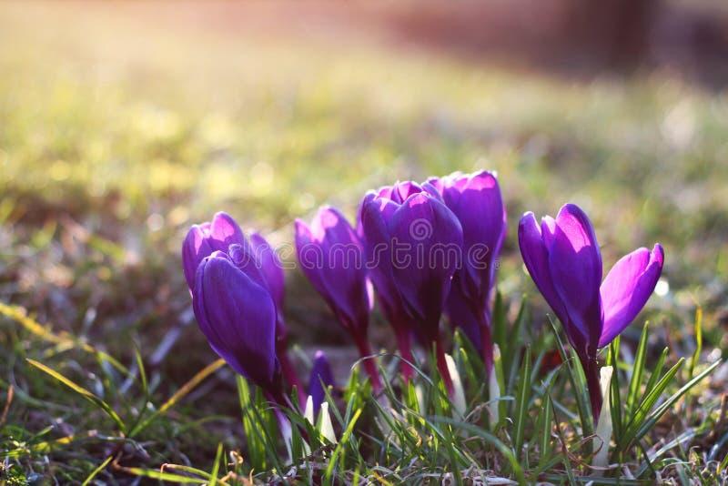 purpurowe krokusy fotografia stock