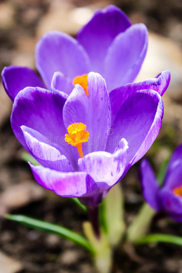 purpurowe krokusy fotografia royalty free