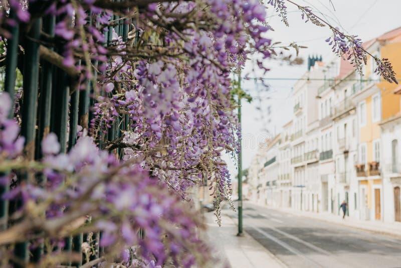 Purpurowe kwiat żałość r jako dekoracja ogrodzenie Ulica w Lisbon w Portugalia jest rozmyta w tle obraz royalty free