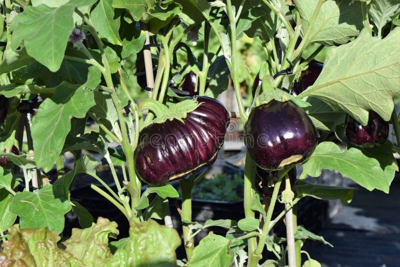 Purpurowe oberżyny na roślinach zdjęcia stock