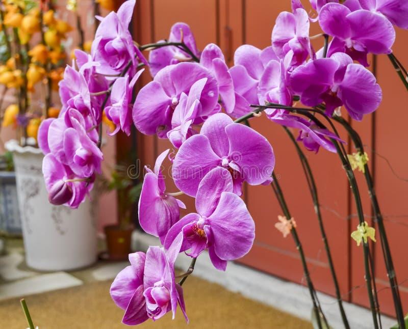 Purpurowe orchidee przy Chińską świątynią obrazy royalty free