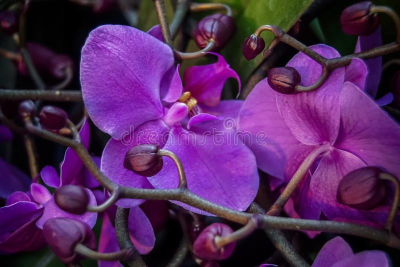 Purpurowe orchidee z p?czkami zdjęcia royalty free