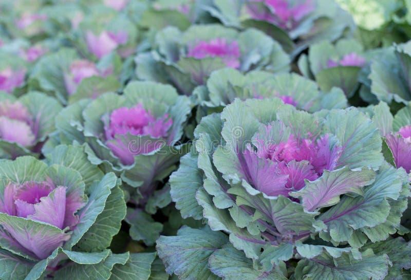 Purpurowe Ornamentacyjne kapust rośliny obrazy royalty free