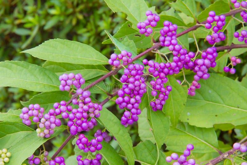 Purpurowe owoc zdjęcia stock