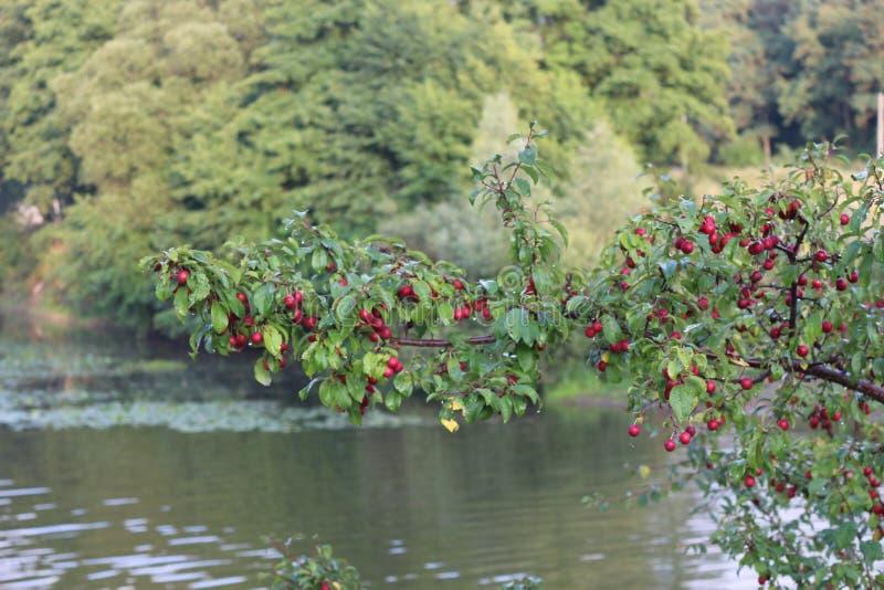 Purpurowe owoc czereśniowa śliwka dojrzewali na drzewie w późnym lecie zdjęcie stock