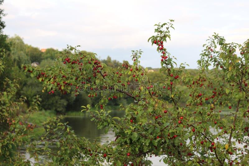 Purpurowe owoc czereśniowa śliwka dojrzewali na drzewie w późnym lecie zdjęcie royalty free