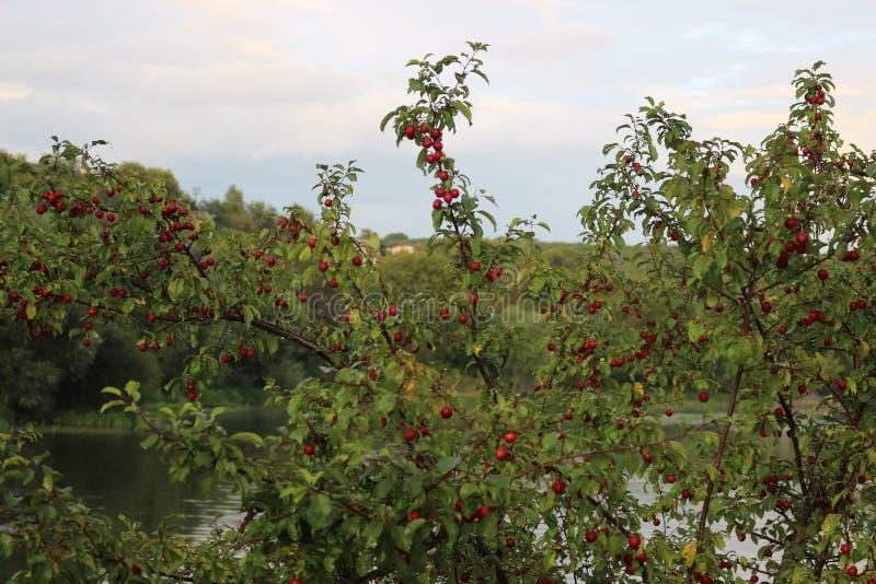 Purpurowe owoc czereśniowa śliwka dojrzewali na drzewie w późnym lecie zdjęcia stock