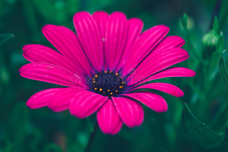 purpurowe płatków fotografia royalty free