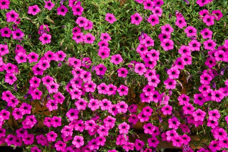 Purpurowe petunie zdjęcie stock