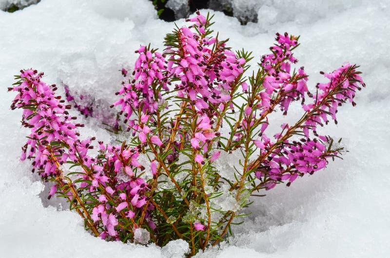 Purpurowego wrzosu kwiaty fotografia stock