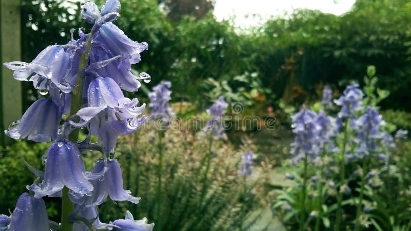 Purpurowi bellflowers w deszczowym dniu zdjęcia royalty free