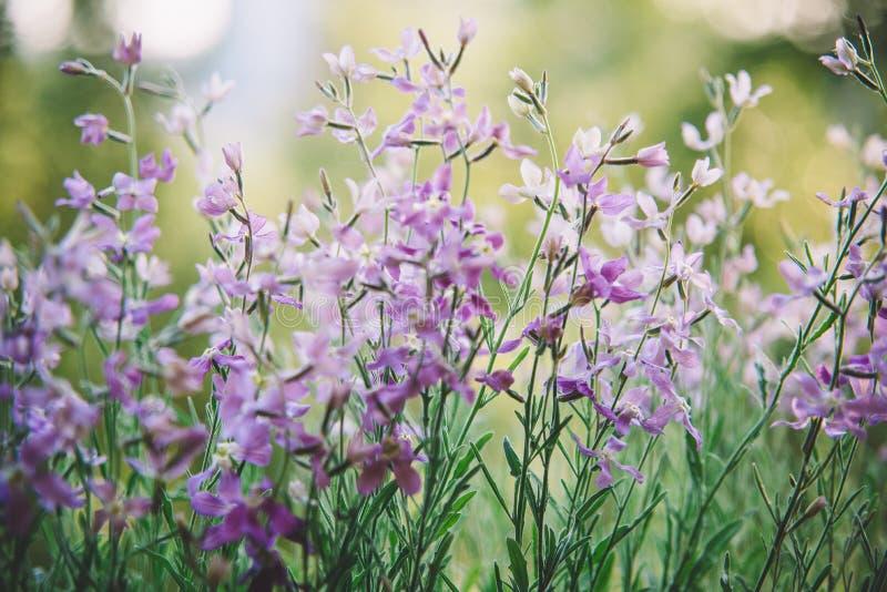 Purpurowi bzów kwiaty fotografia stock