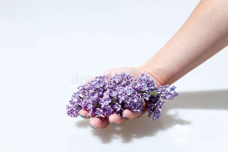 Purpurowi bzów kwiaty odizolowywający na białym tle Ręka daje kwiatu obrazy royalty free