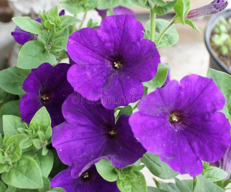 Purpurowi Calibrachoa kwiaty obrazy royalty free