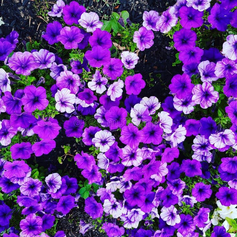 purpurowi cienie zdjęcia stock