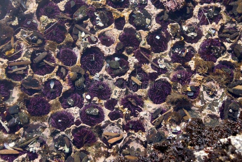 Purpurowi Denni czesacy obrazy stock