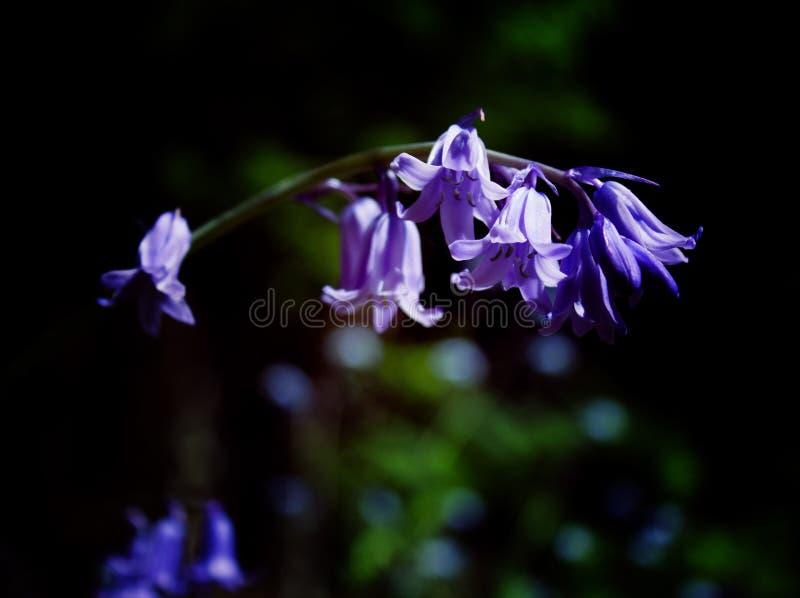 Purpurowi Dzwony Scillia obrazy stock