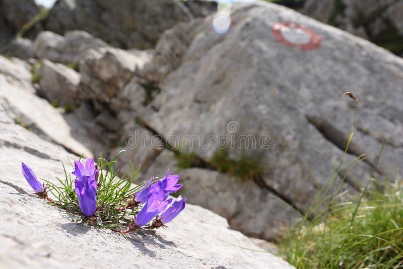 Purpurowi dzwony wzrastają od kamienia, otaczającego skałą fotografia royalty free