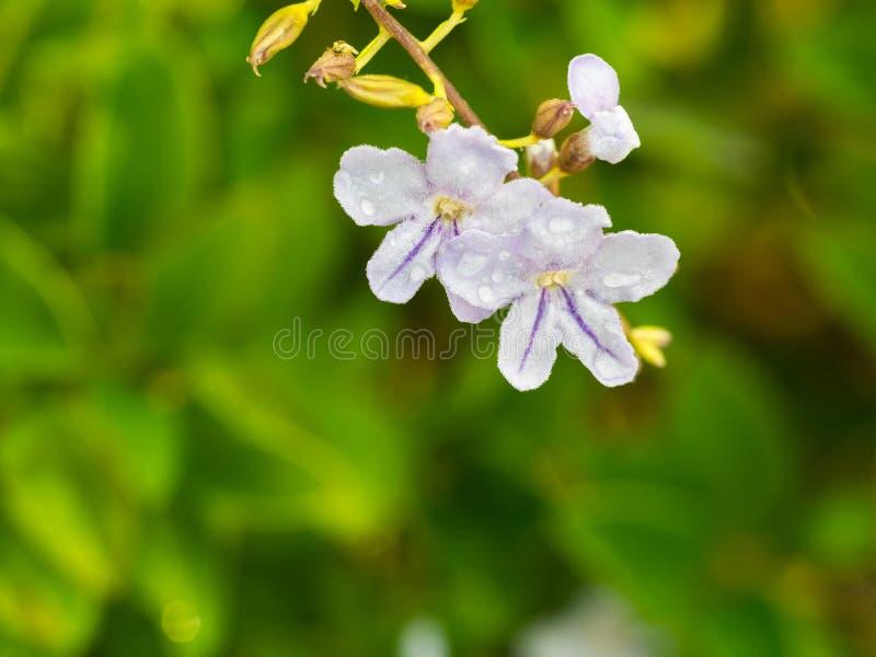 Purpurowi Fujian herbaty kwiaty zdjęcia stock