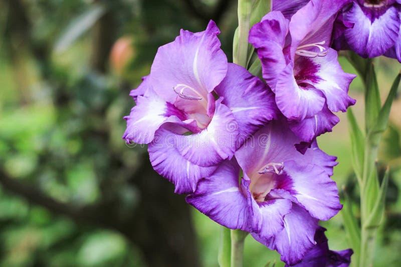 Purpurowi gladiolusy z trzy filiżankami r na zielonym tle w ogródzie, fotografia stock
