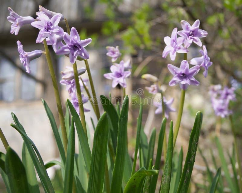 Purpurowi hiacynty w ogródzie obraz stock