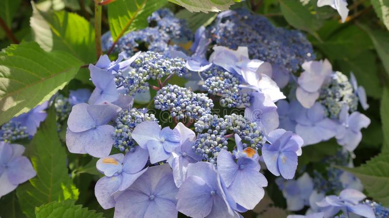 Purpurowi hortensja płatki zakończenie Całkowity kwiat obrazy stock