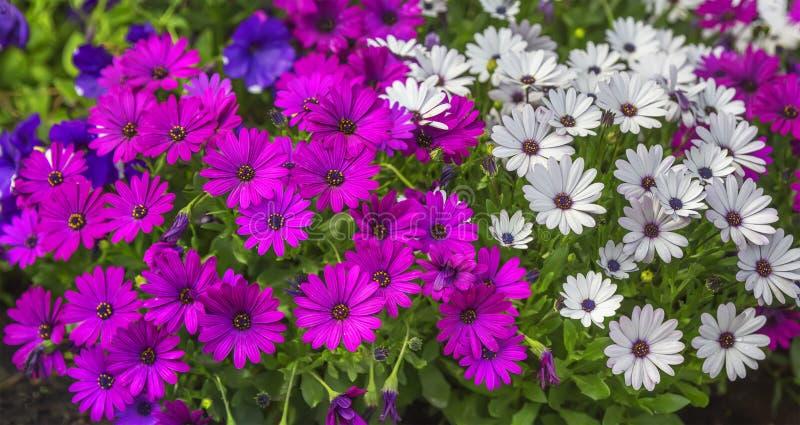 Purpurowi i biali Dimorphotheca ecklonis kwiaty zdjęcie stock