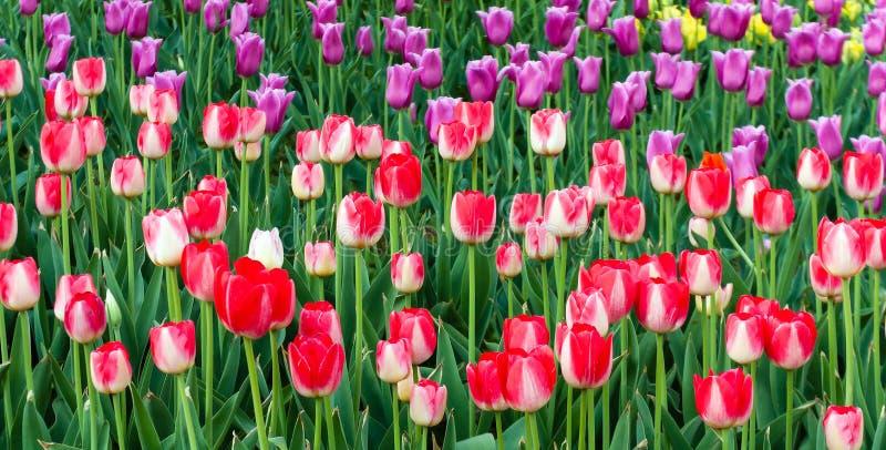 purpurowi i czerwoni tulipany odpowiadają wiosna czasu kwiatu ogród, natura półdupki zdjęcia royalty free