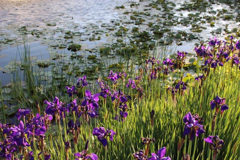 Purpurowi irysy na leluja stawie zdjęcie royalty free
