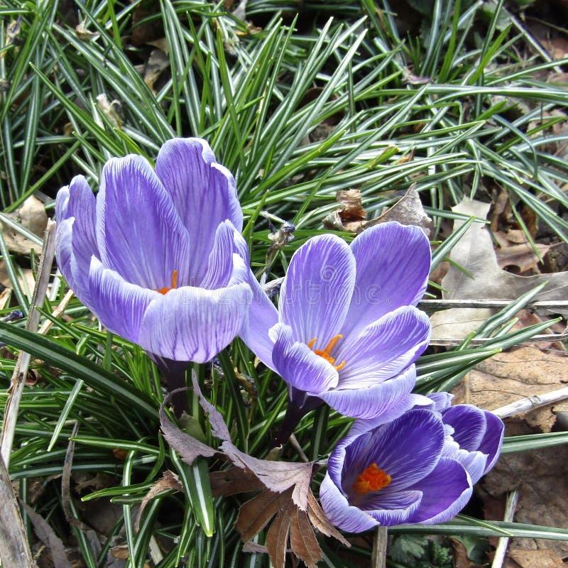 Purpurowi krokusów kwiaty jako zwiastuny wiosna obrazy royalty free