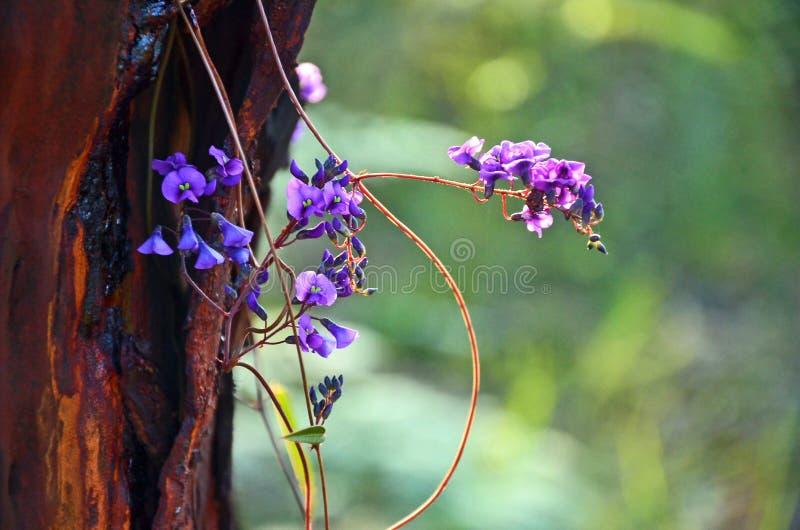 Purpurowi kwiaty Australijski Hardenbergia fotografia royalty free