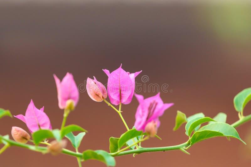 Purpurowi kwiaty bougainvillea drzewo, makro-/, widok, plamy tła Bougainvillea kwitną teksturę i tło fotografia royalty free