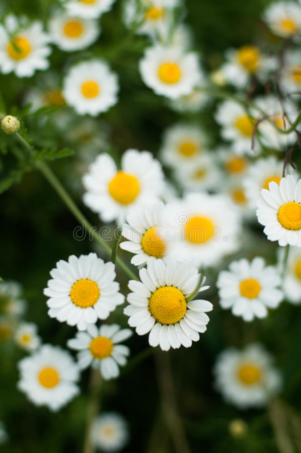 Purpurowi kwiaty, chamomile trawa, piękna fotografia stock