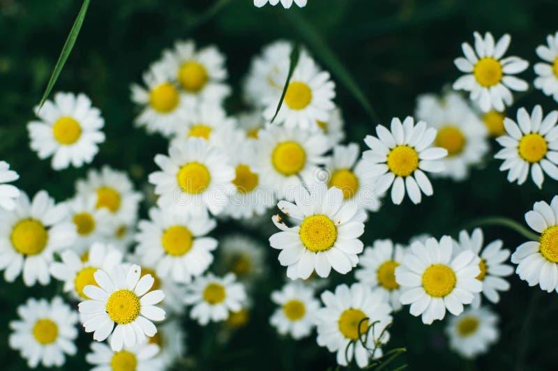 Purpurowi kwiaty, chamomile trawa, piękna zdjęcie stock