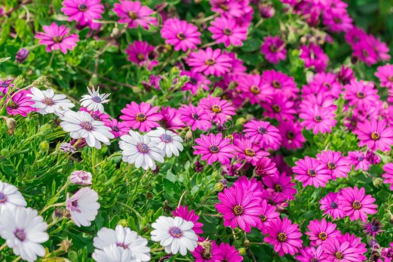 Purpurowi kwiaty, chamomile trawa, piękna tapeta fotografia royalty free