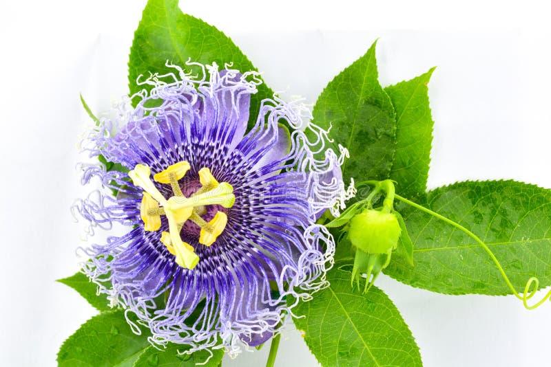 Purpurowi kwiaty - gotówkowa woda i piękni zieleni liście jesteśmy powabni fotografia royalty free