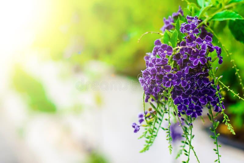 Purpurowi kwiaty są lekkim puszkiem obraz stock
