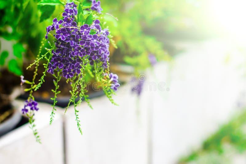 Purpurowi kwiaty są lekkim puszkiem zdjęcia stock