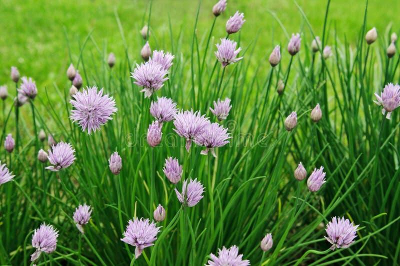 Purpurowi kwiaty szczypiorki, Allium tuberosum kwiat zdjęcie royalty free