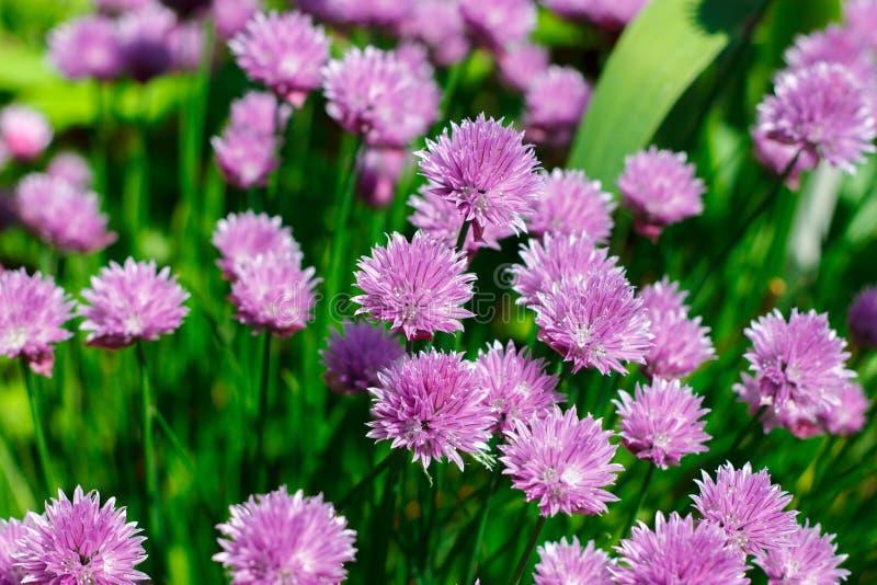 Purpurowi kwiaty zamknięci w górę, cebulkowy schnitt obrazy stock