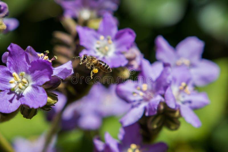 Purpurowi kwiaty zamknięci w górę rośliny kwitnienia z miodowy pszczoły unosić się obrazy royalty free