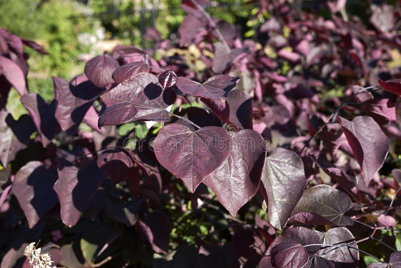 Purpurowi liście Cercis canadensis drzewo obrazy stock