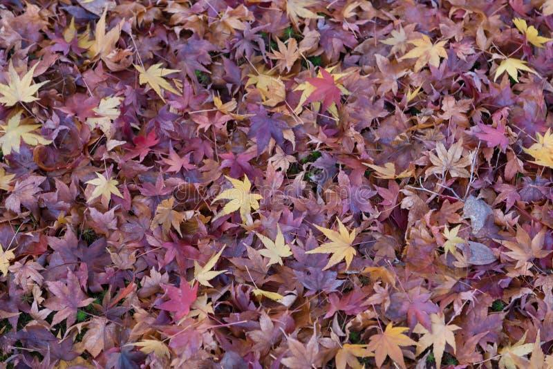 Purpurowi liście klonowi na ziemi podczas jesień sezonu fotografia royalty free