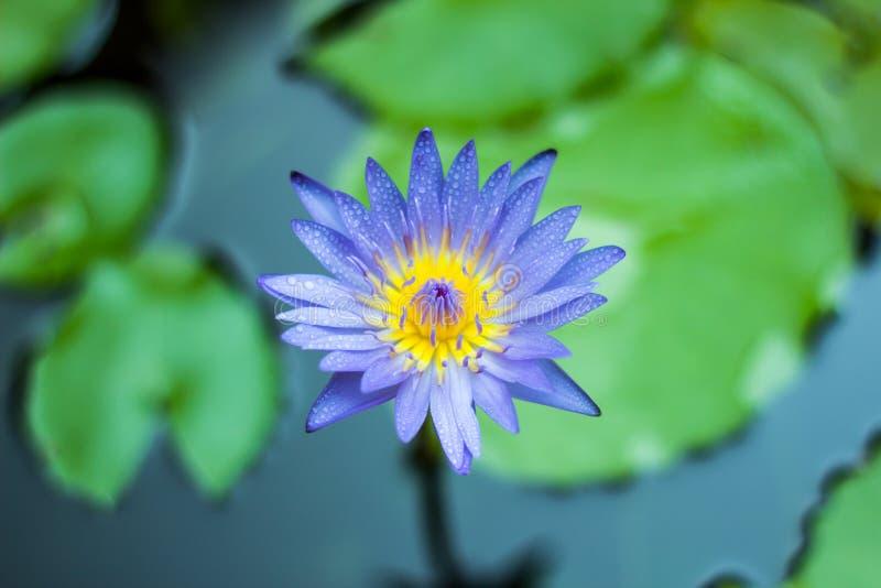 Purpurowi Lotosowi kwiaty zdjęcie royalty free