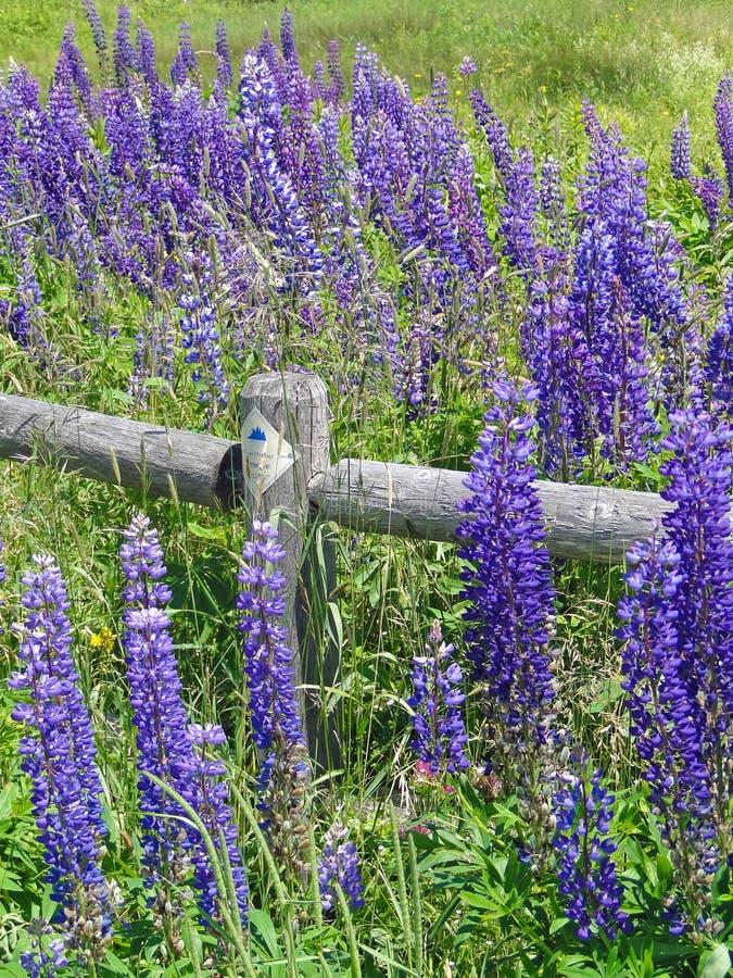 Purpurowi lupines wzdłuż sztachetowego ogrodzenia obrazy royalty free