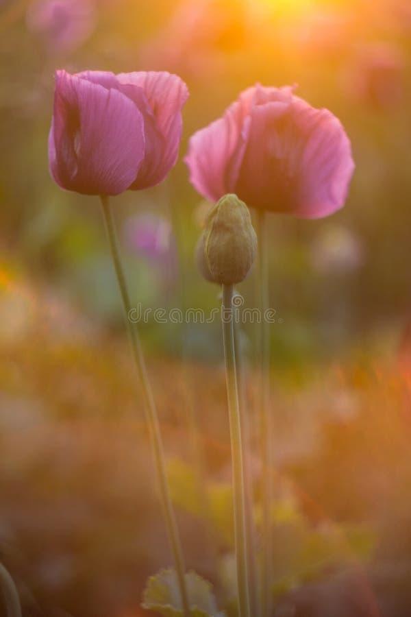 Purpurowi maczk?w kwiaty za?wiecali po?o?enia s?o?cem zdjęcie royalty free