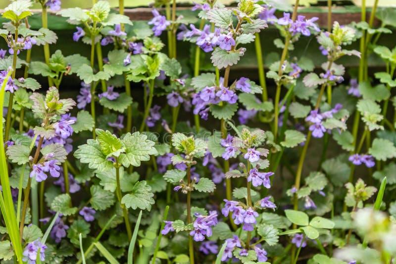 Purpurowi mali kwiaty są na zielonym tle Kwiatu Boudreau hederacea Glechoma hederacea Kwiecisty tło jest od zdjęcie royalty free