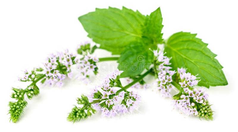 Purpurowi miętówka kwiaty odizolowywający na bielu fotografia stock